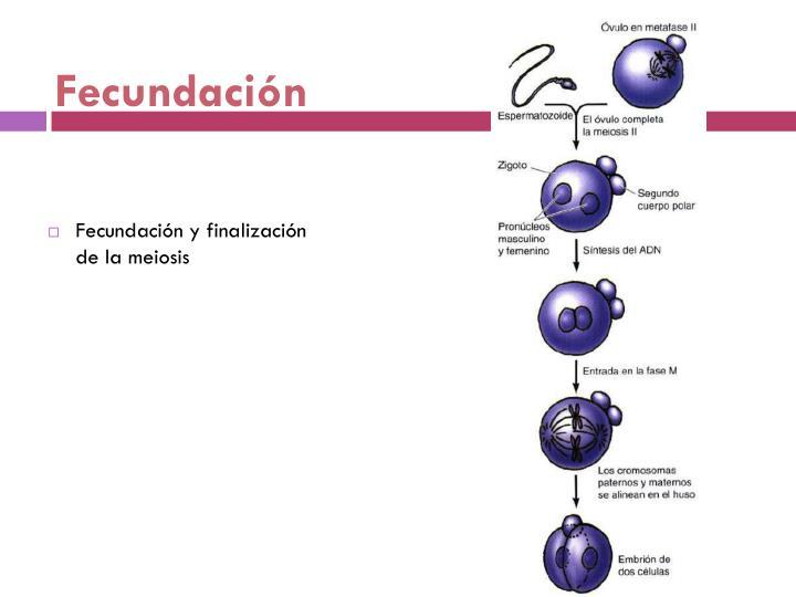 Fecundación