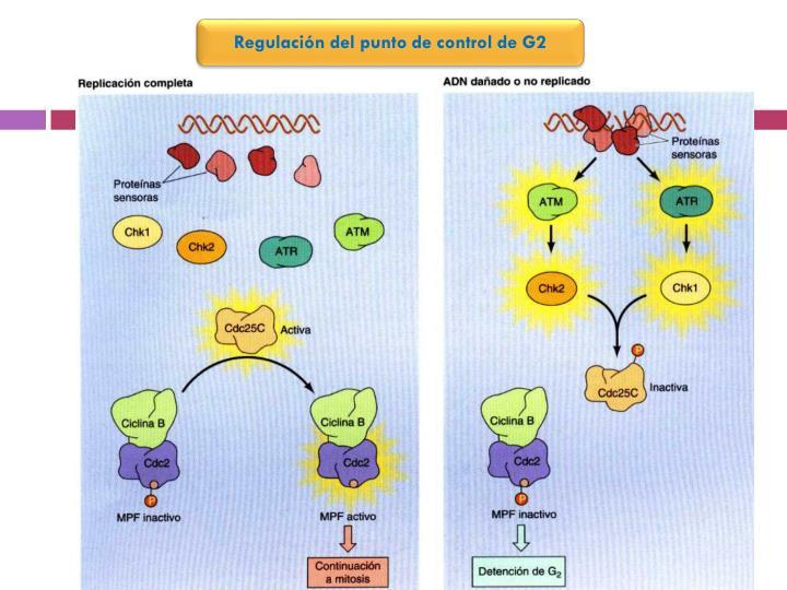 Regulación del punto de control de G2