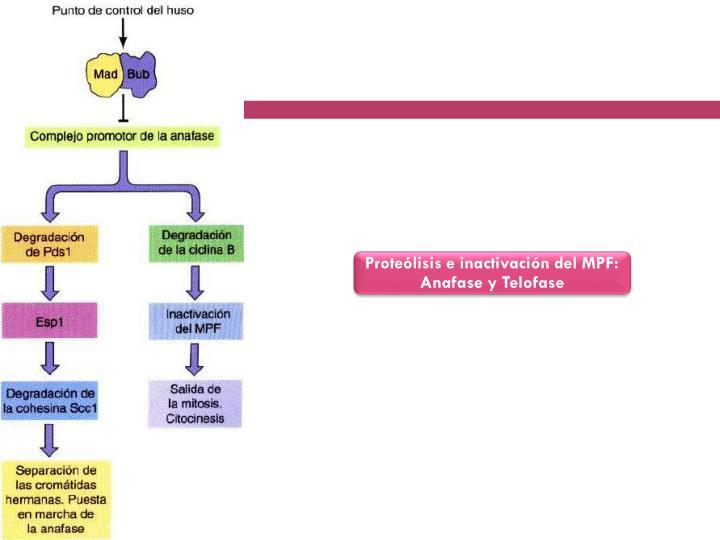 Proteólisis e inactivación del MPF: Anafase y Telofase