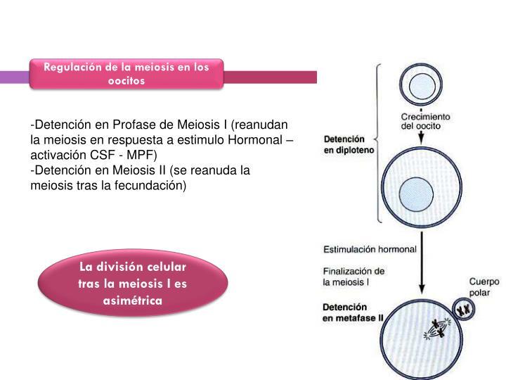 Regulación de la meiosis en los