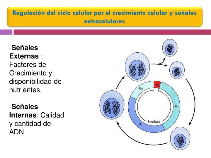 Regulación del ciclo celular por el crecimiento celular y señales extracelulares