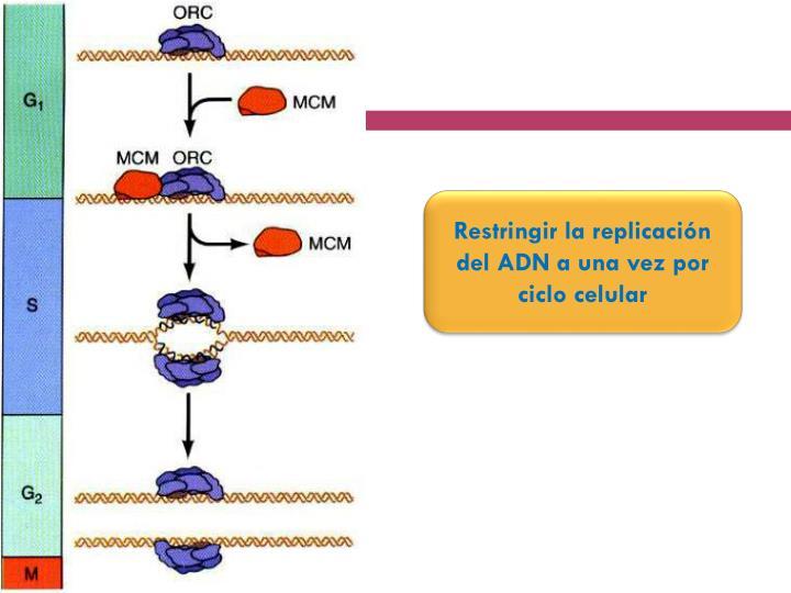 Restringir la replicación del ADN a una vez por ciclo celular