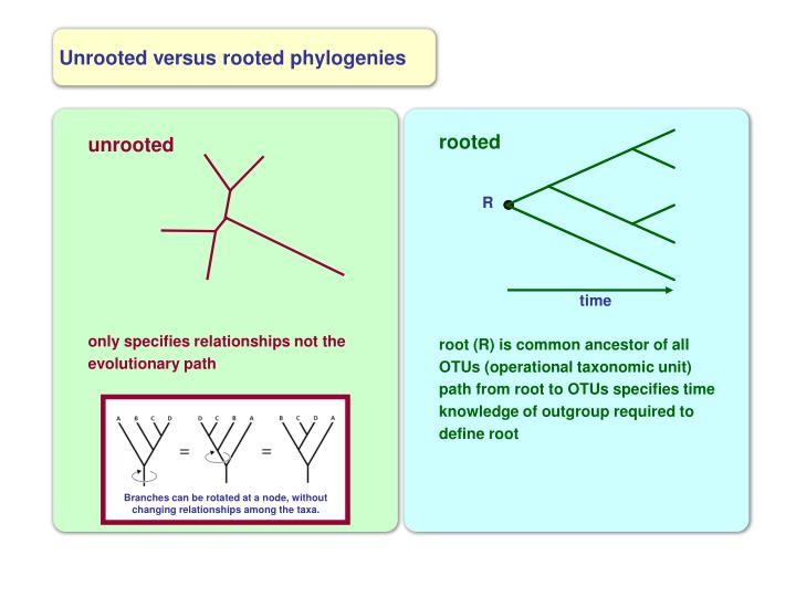 Branches can be rotated at a node, without changing relationships among the taxa.