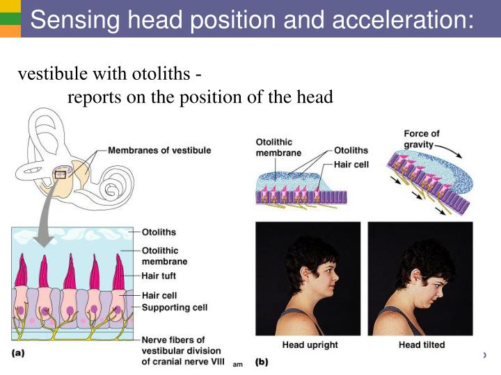Sensing head position and acceleration: