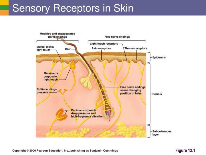 Sensory Receptors in Skin