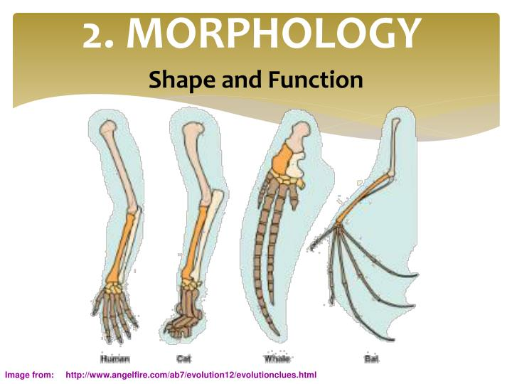 2. MORPHOLOGY