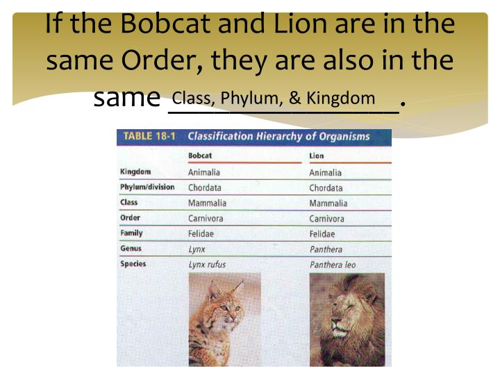 If the Bobcat and Lion are in the same Order, they are also in the same _______________.