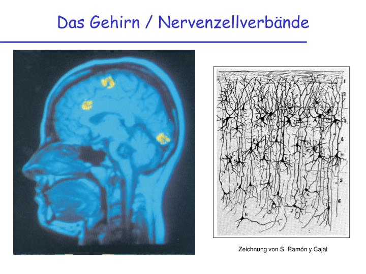 Das Gehirn / Nervenzellverbände