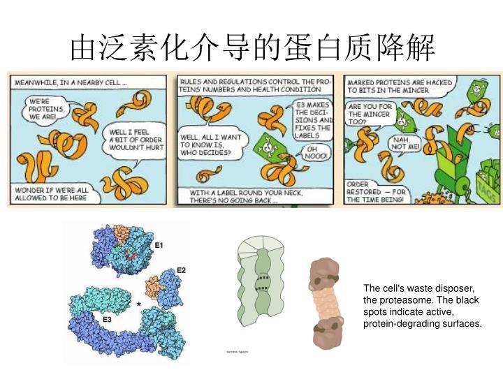 由泛素化介导的蛋白质降解