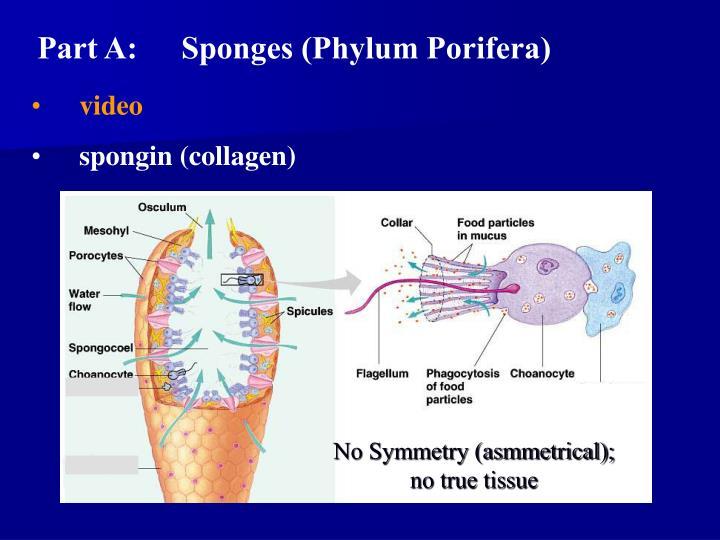Part A:Sponges (Phylum Porifera)