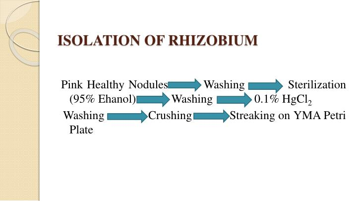 ISOLATION OF RHIZOBIUM