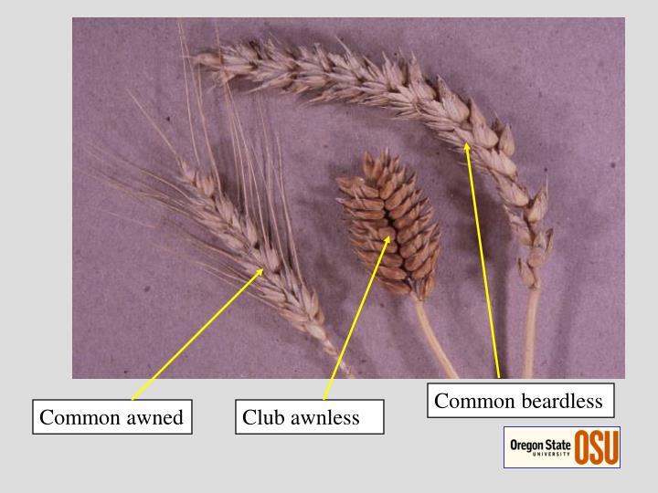 Common beardless