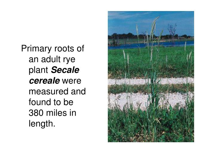 Primary roots of an adult rye plant