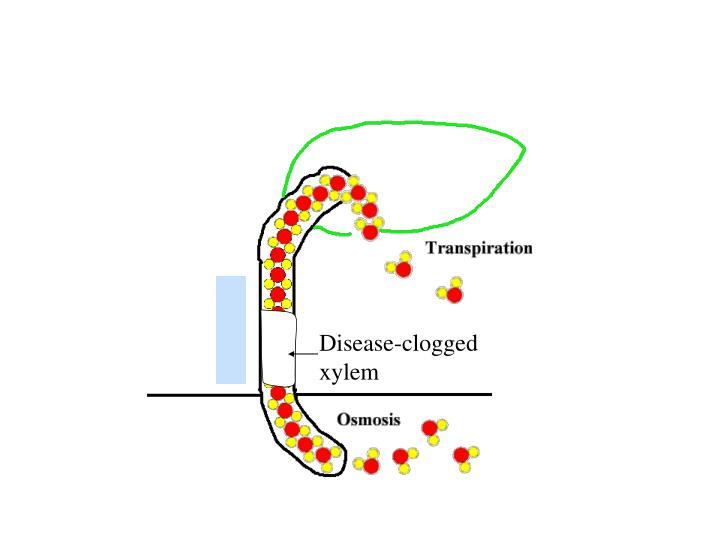 Disease-clogged xylem