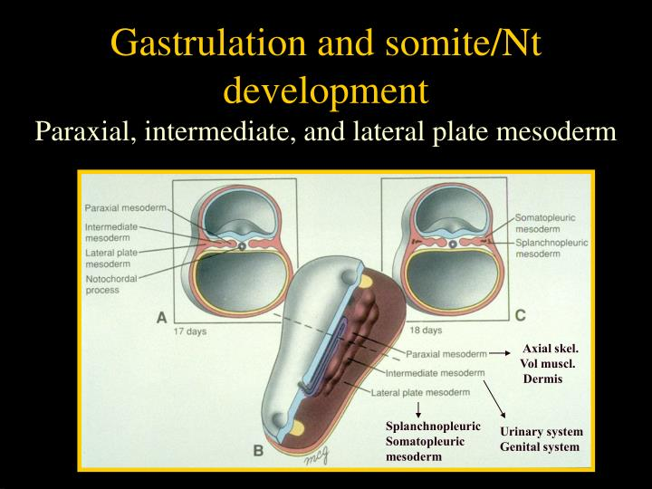 Gastrulation and somite/Nt development