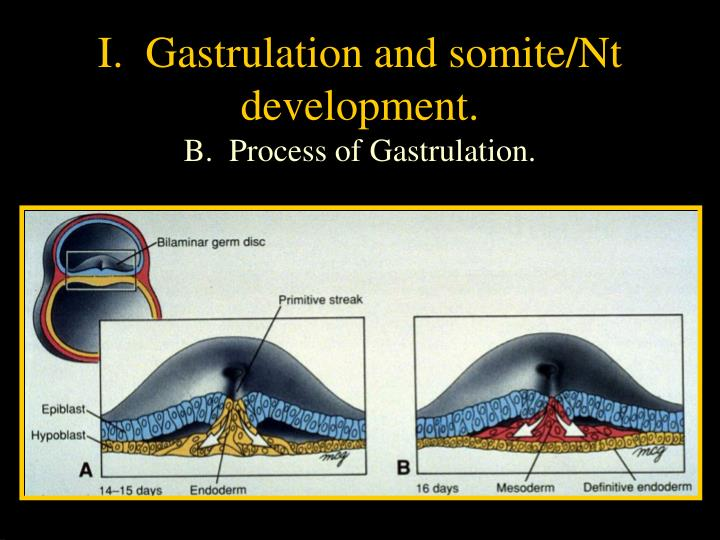 I.  Gastrulation and somite/Nt development.