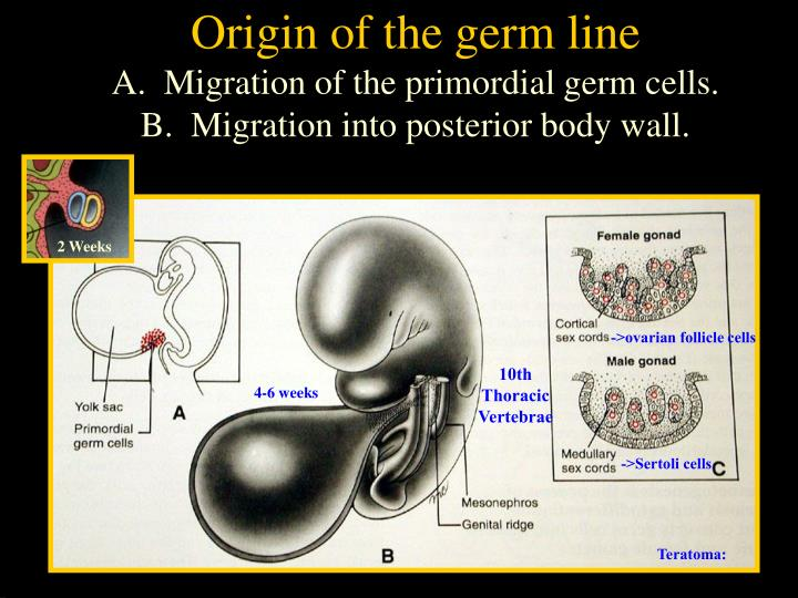Origin of the germ line
