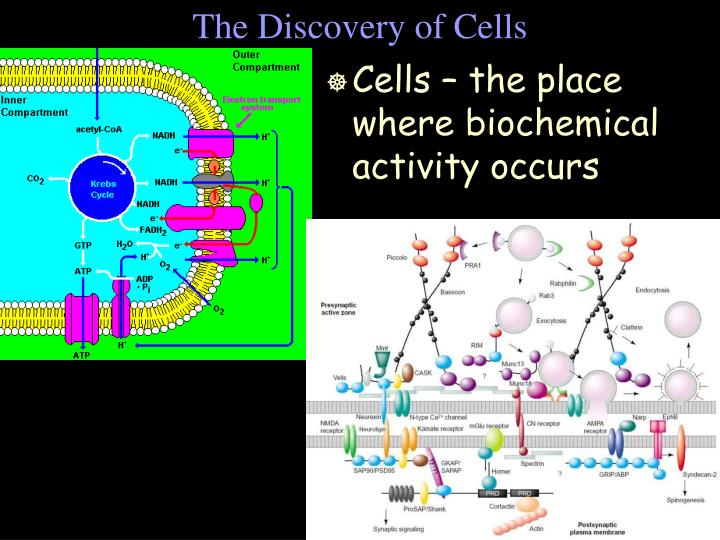 The discovery of cells1