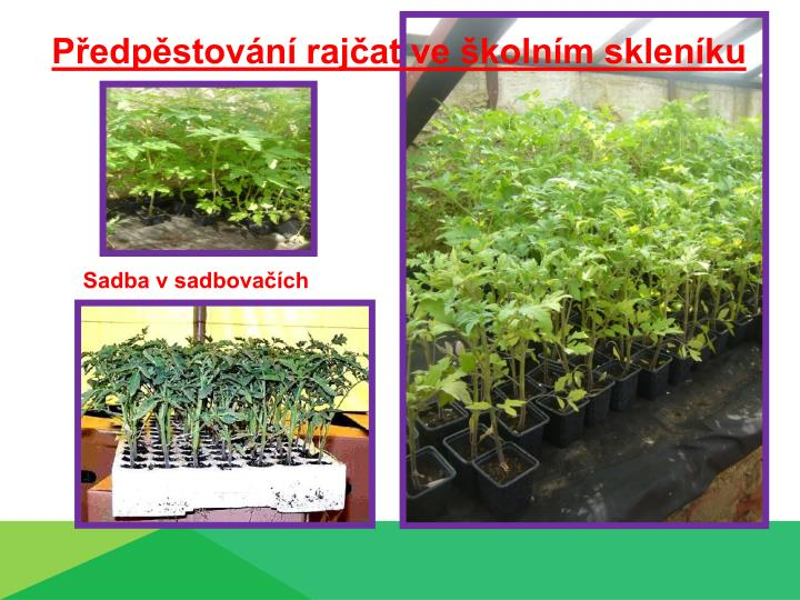 Předpěstování rajčat ve školním skleníku
