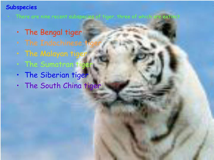 There are nine recent subspecies of tiger, three of which are extinct