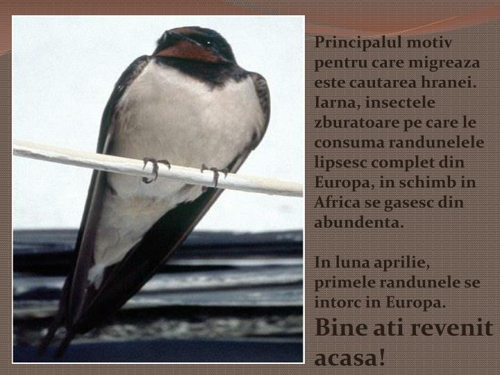 Principalul motiv pentru care migreaza este cautarea hranei. Iarna, insectele zburatoare pe care le consuma randunelele lipsesc complet din Europa, in schimb in Africa se gasesc din abundenta.