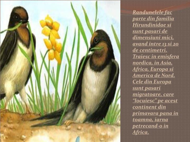 "Randunelele fac parte din familia Hirundinidae si sunt pasari de dimensiuni mici, avand intre 13 si 20 de centimetri. Traiesc in emisfera nordica, in Asia, Africa, Europa si America de Nord. Cele din Europa sunt pasari migratoare, care ""locuiesc"" pe acest continent din primavara pana in toamna, iarna petrecand-o in Africa."