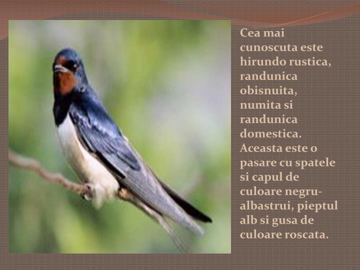 Cea mai cunoscuta este hirundo rustica, randunica obisnuita, numita si randunica domestica. Aceasta este o pasare cu spatele si capul de culoare negru-albastrui, pieptul alb si gusa de culoare roscata.