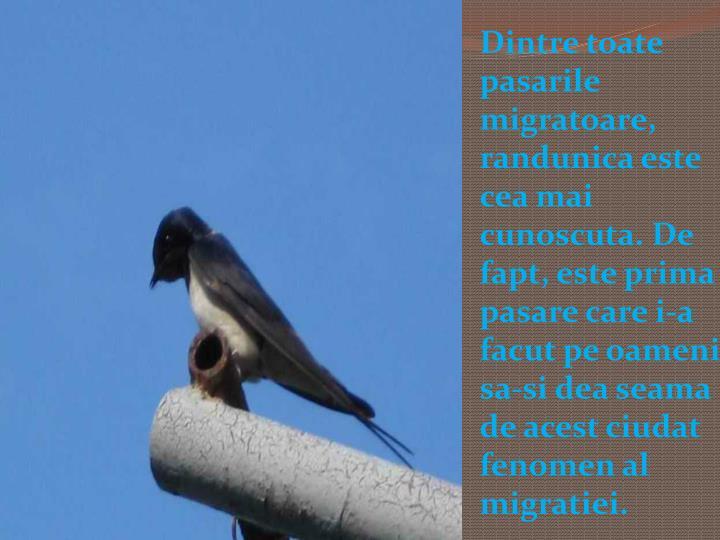 Dintre toate pasarile migratoare, randunica este cea mai cunoscuta. De fapt, este prima pasare care i-a facut pe oameni sa-si dea seama de acest ciudat fenomen al migratiei.