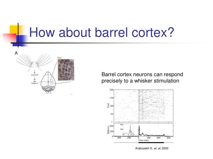 Barrel cortex neurons can respond precisely to a whisker stimulation