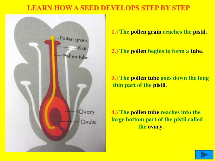 LEARN HOW A SEED DEVELOPS STEP BY STEP