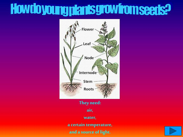 How do young plants grow from seeds?