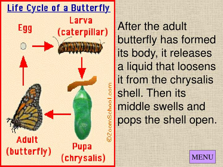 After the adult butterfly has formed its body, it releases a liquid that loosens it from the chrysalis shell. Then its middle swells and pops the shell open.