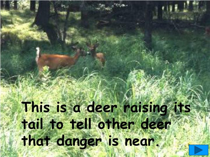 This is a deer raising its tail to tell other deer  that danger is near.