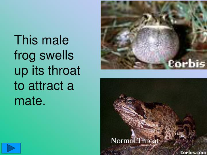 This male frog swells up its throat to attract a mate.