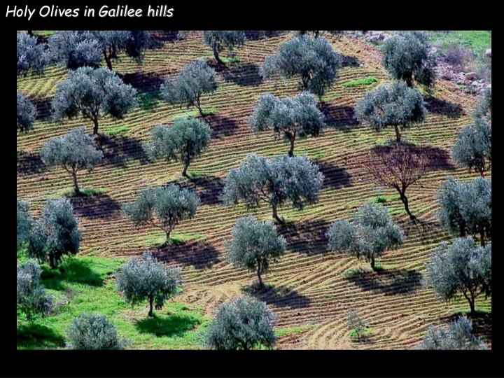 Holy Olives in Galilee hills