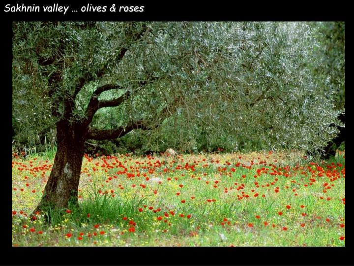 Sakhnin valley … olives & roses