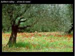 sakhnin valley olives roses