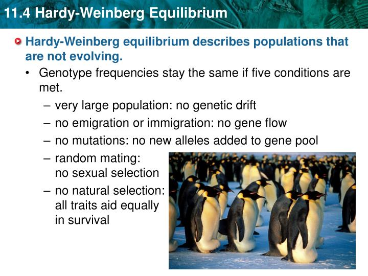 Hardy weinberg equilibrium describes populations that are not evolving1