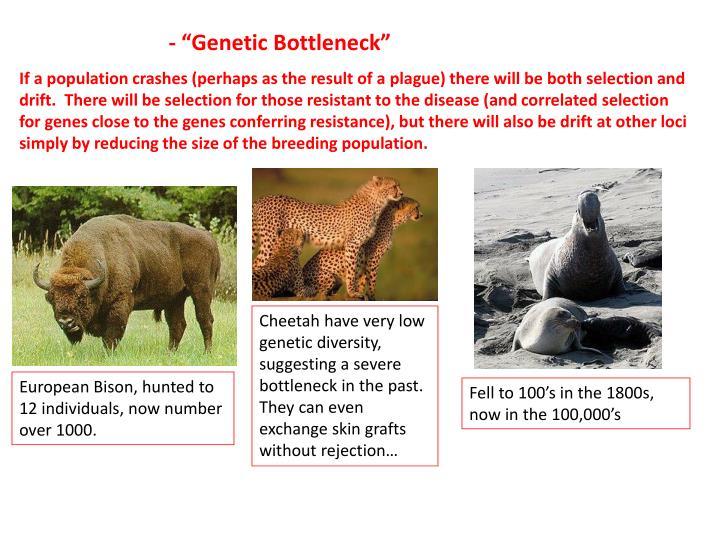 """- """"Genetic Bottleneck"""""""