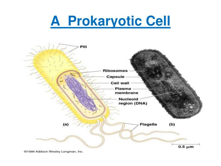 A  Prokaryotic Cell