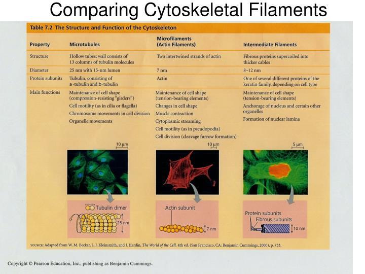 Comparing Cytoskeletal Filaments