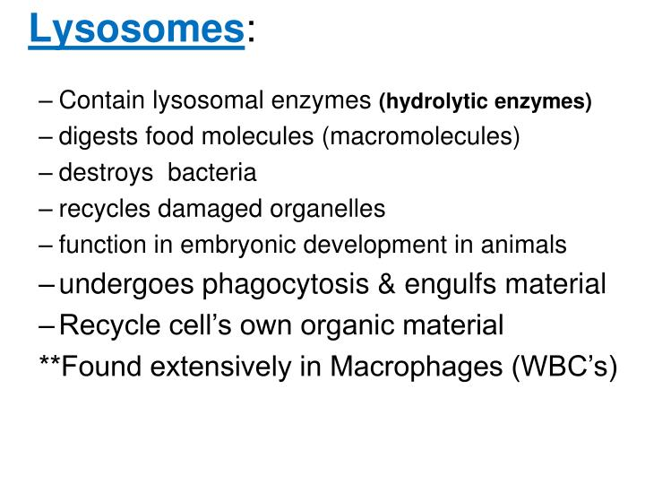 Contain lysosomal enzymes