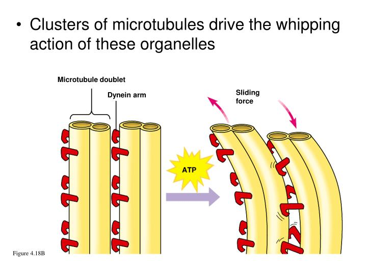 Clusters of microtubules drive the whipping action of these organelles