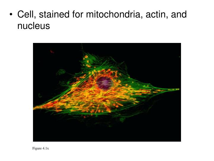 Cell, stained for mitochondria, actin, and nucleus