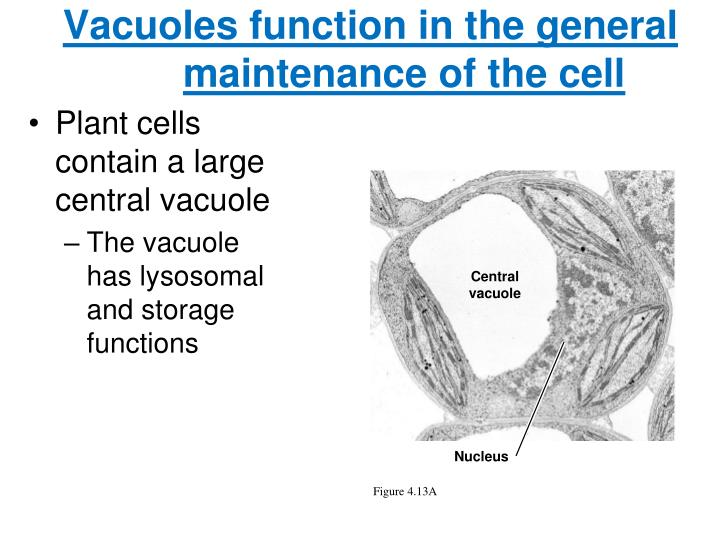 Vacuoles function in the general maintenance of the cell