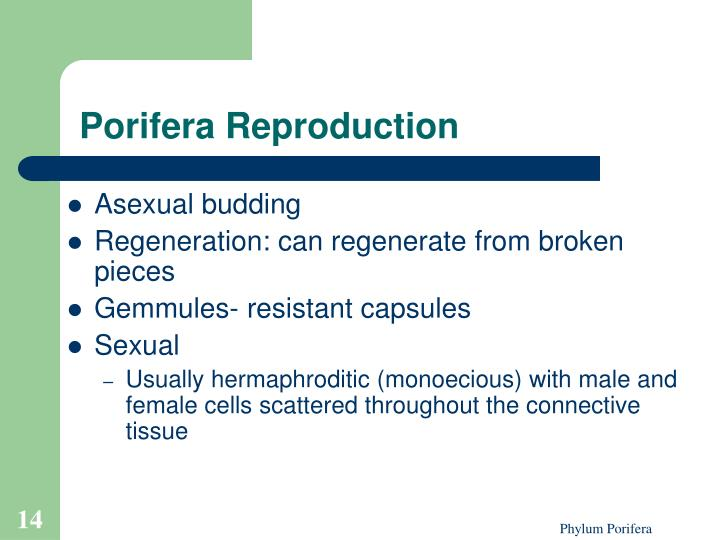 Porifera Reproduction