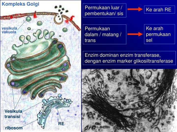 Kompleks Golgi
