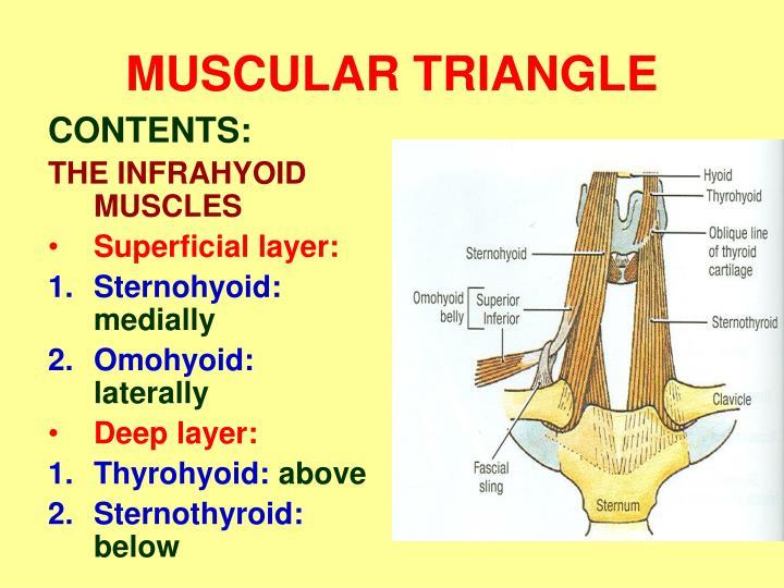 MUSCULAR TRIANGLE