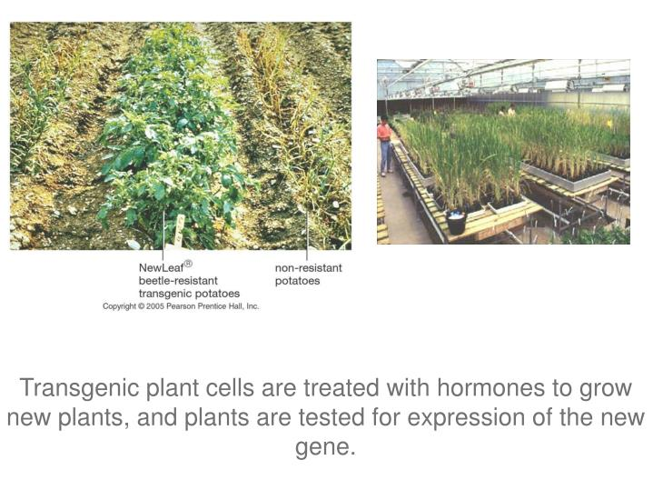 Transgenic plant cells are treated with hormones to grow new plants, and plants are tested for expression of the new gene.