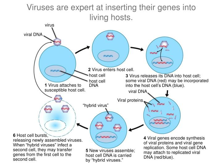 Viruses are expert at inserting their genes into living hosts.